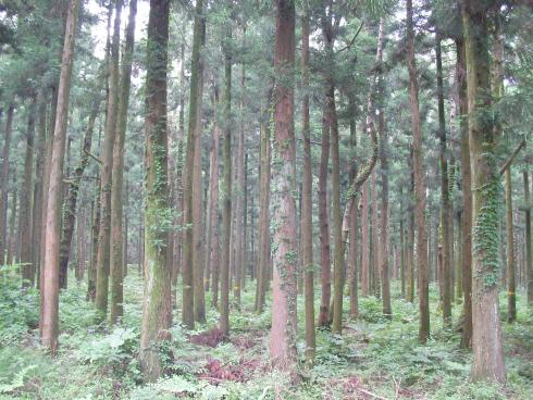 제주 삼나무숲길
